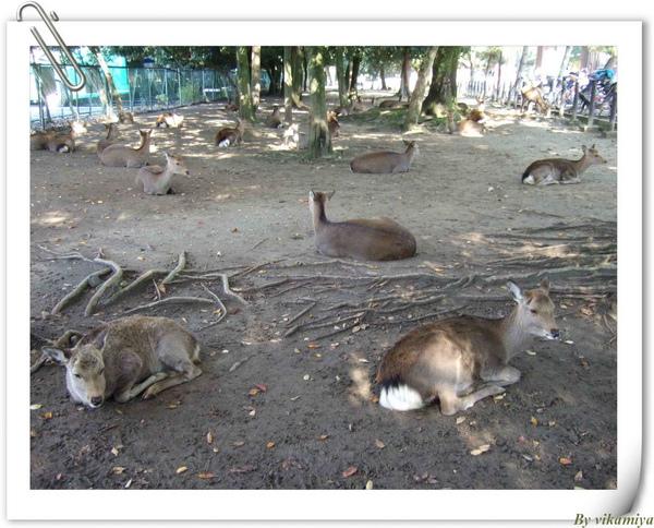 11.26 奈良梅花鹿公園.jpg