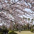 韓翰林公園櫻花祭01.jpg