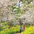 韓翰林公園櫻花祭03.jpg