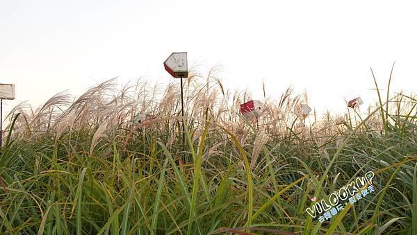 首爾紫芒草慶典서울억새축제天空公園하늘공원0031.jpg