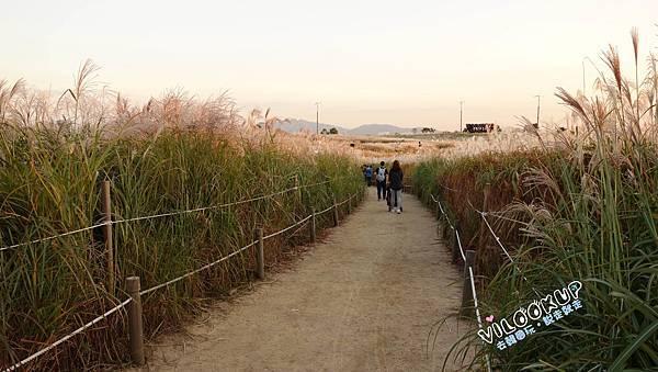 首爾紫芒草慶典서울억새축제天空公園하늘공원0030.jpg