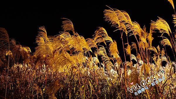 首爾紫芒草慶典서울억새축제天空公園하늘공원0065.jpg