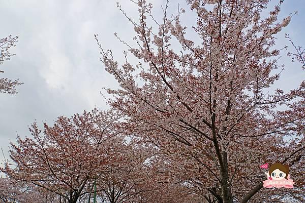 釜山沙上掛法站韓國賞櫻三樂江邊公園삼락강변공원025.jpg