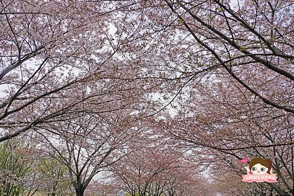 釜山沙上掛法站韓國賞櫻三樂江邊公園삼락강변공원026.jpg