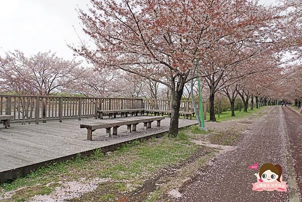 釜山沙上掛法站韓國賞櫻三樂江邊公園삼락강변공원029.jpg