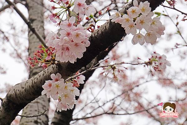 釜山沙上掛法站韓國賞櫻三樂江邊公園삼락강변공원035.jpg