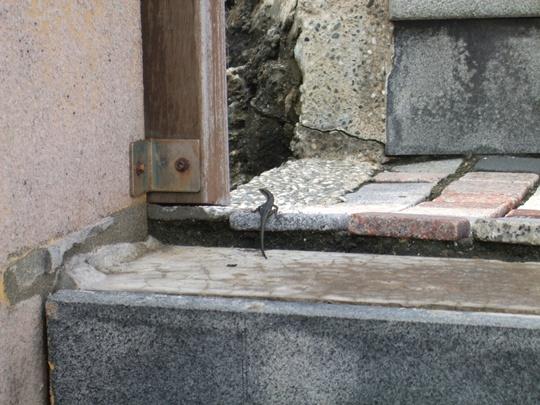 烏鬼洞有好多好多的蜥蜴!!