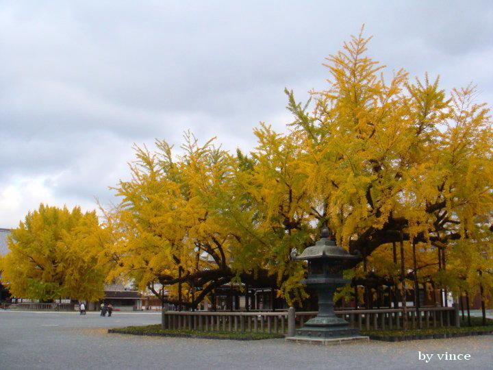 西本願寺  銀杏