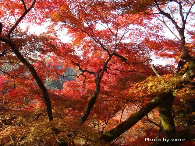 清水寺 楓樹林