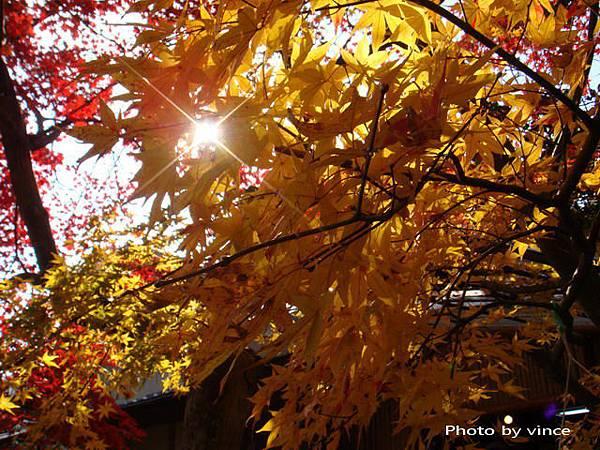 嵐山 楓葉 星芒