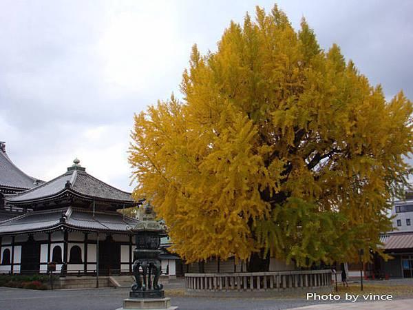 西本願寺  銀杏2
