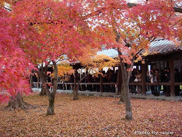 東福寺 楓葉