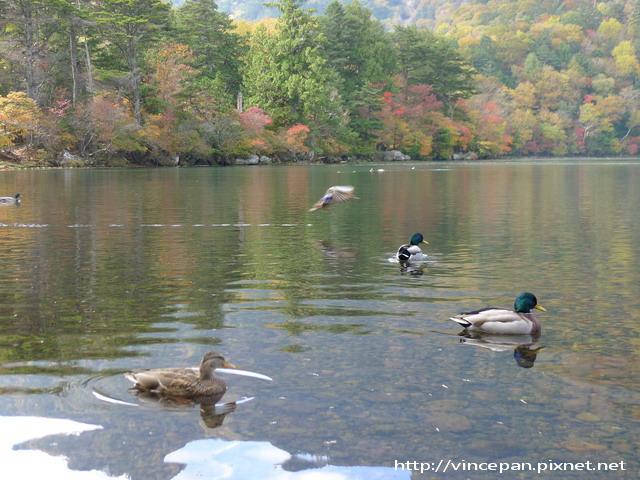 湯之湖 小鴨