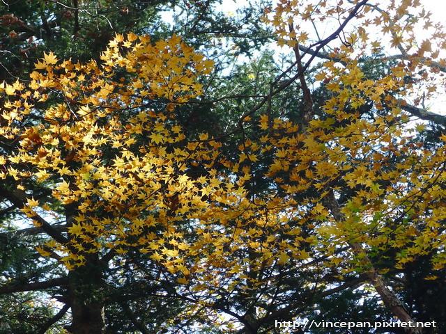 奧日光森林 楓葉