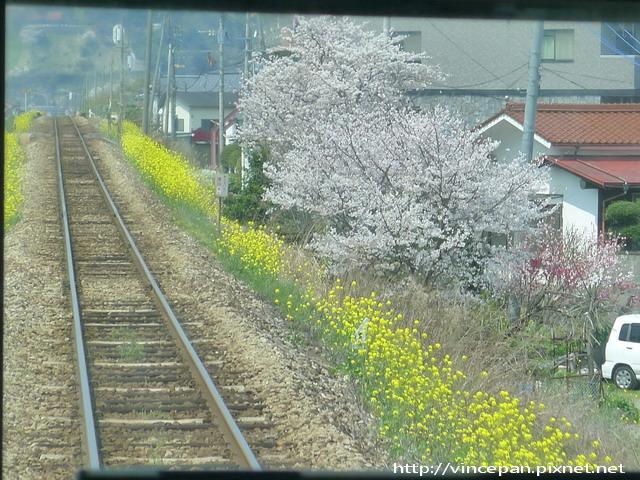 櫻花油菜花