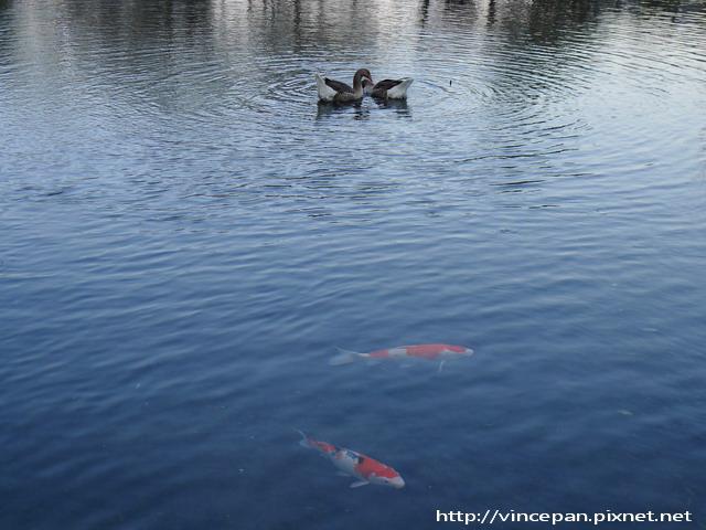 金鱗湖  鵝 錦鯉