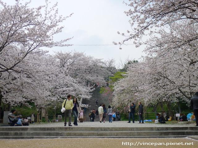 西公園 入口前櫻花