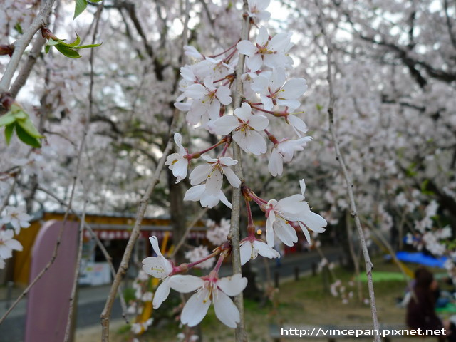 西公園  枝垂櫻