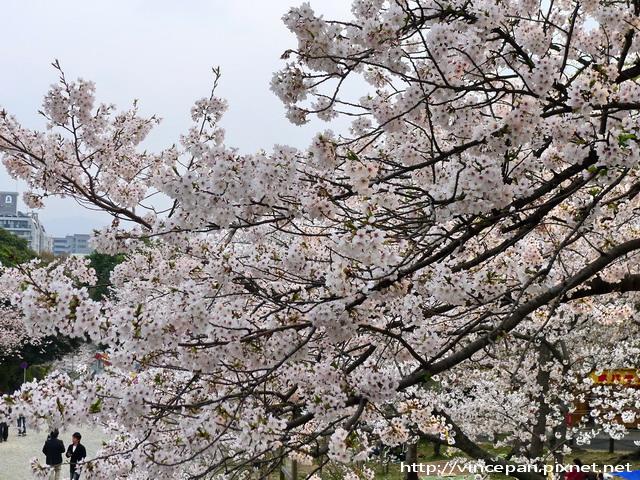 西公園  階梯前櫻花