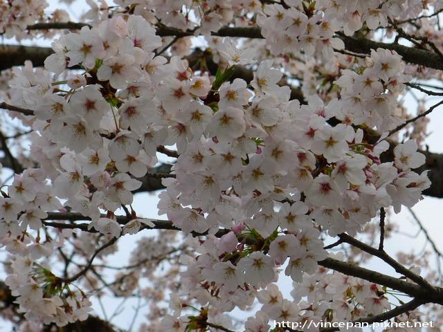 西公園  櫻花花朵