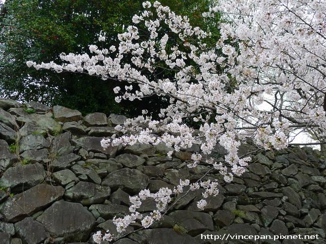 舞鶴公園 名島門旁櫻花
