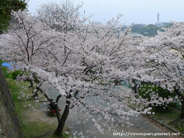舞鶴中學 櫻花隧道 上方