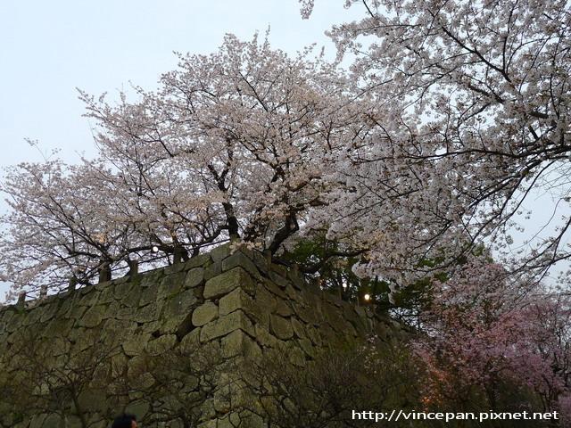 福岡城跡 城牆上櫻花