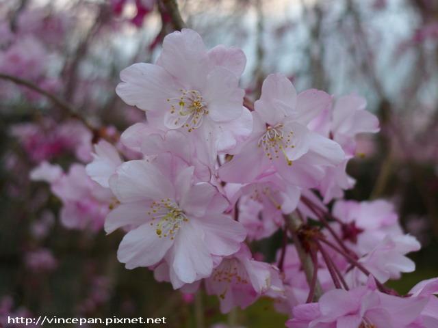 福岡城跡 枝垂櫻 花朵