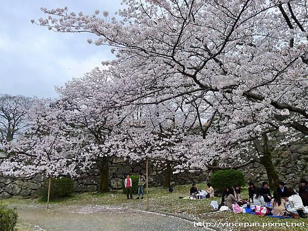 福岡城跡 天守台旁櫻花