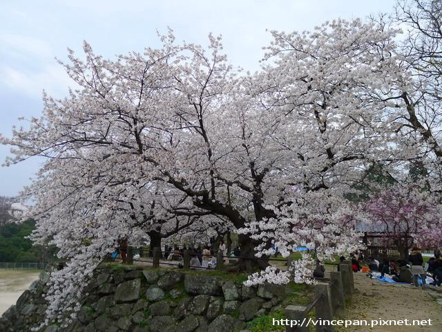 福岡城跡 城牆櫻花