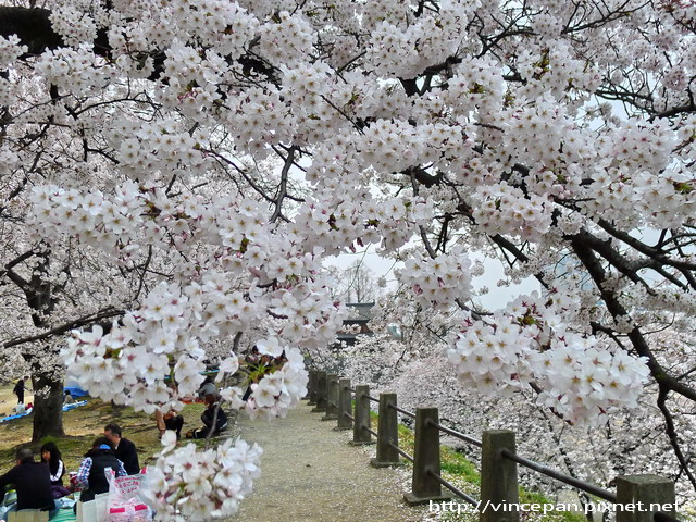 福岡城跡 櫻花