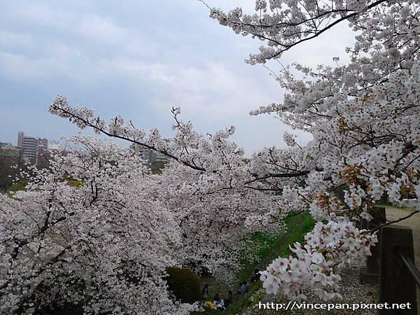 祈念櫓旁櫻花