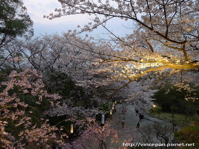 福岡城跡  夜櫻