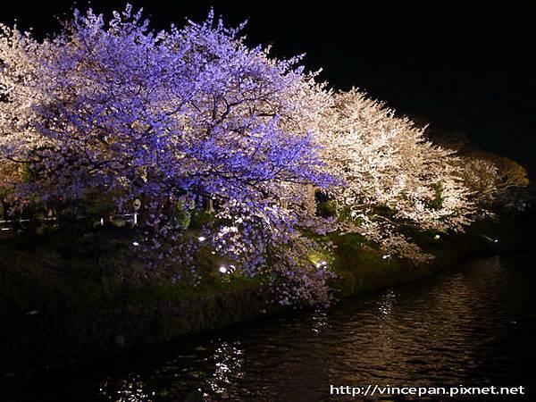 上之橋夜櫻2