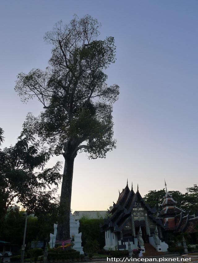 柴迪隆寺  神木