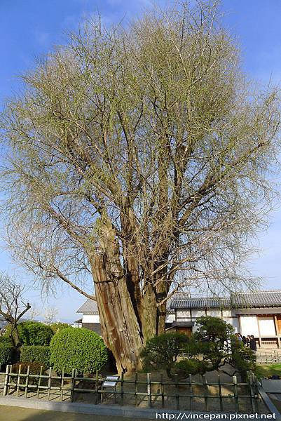 巨大的銀杏樹