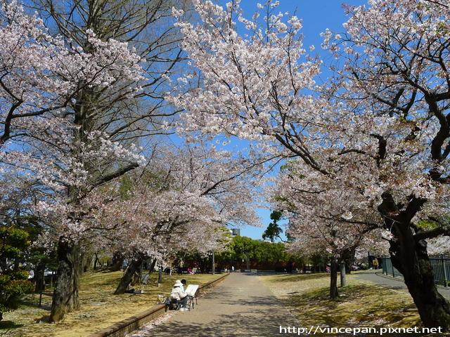 原爆落下中心地公園 櫻花