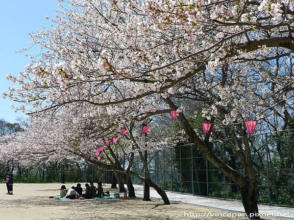 風頭山櫻花1