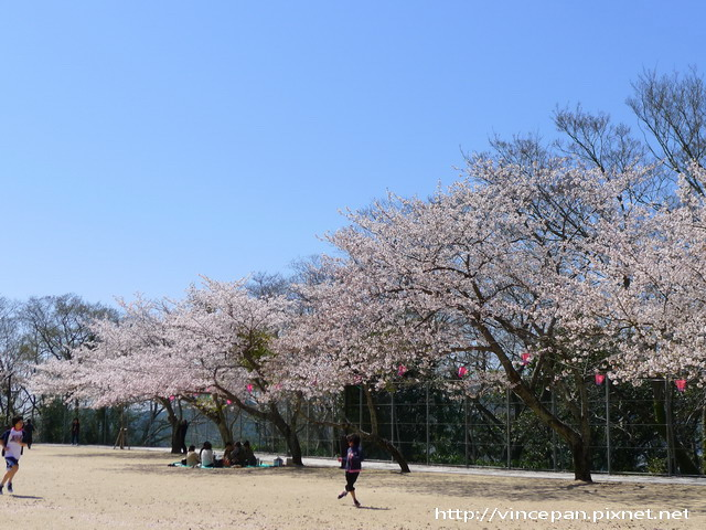 風頭山櫻花2