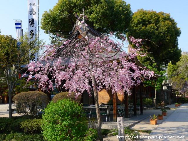 櫛田神社櫻花2