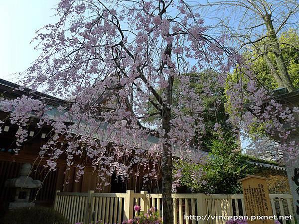 櫛田神社櫻花3