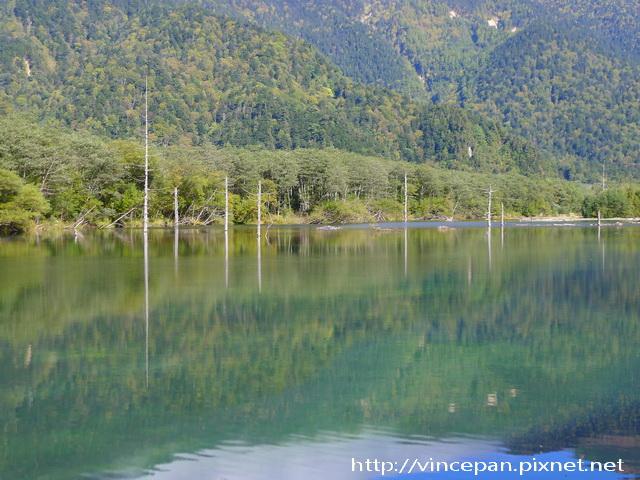 大正池 枯木