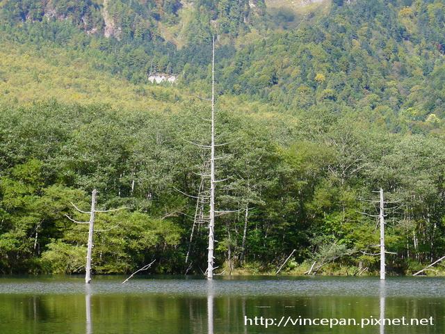 大正池 枯木 2