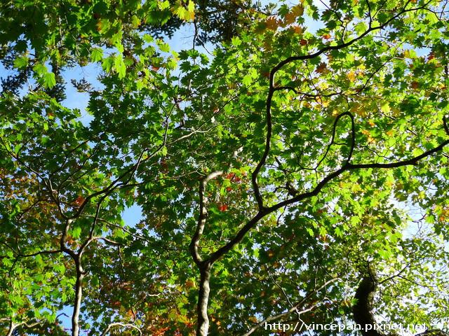 梓川右岸楓樹