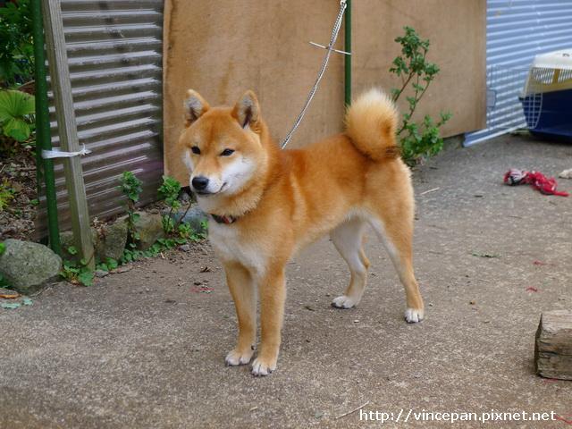 民宿 柴犬
