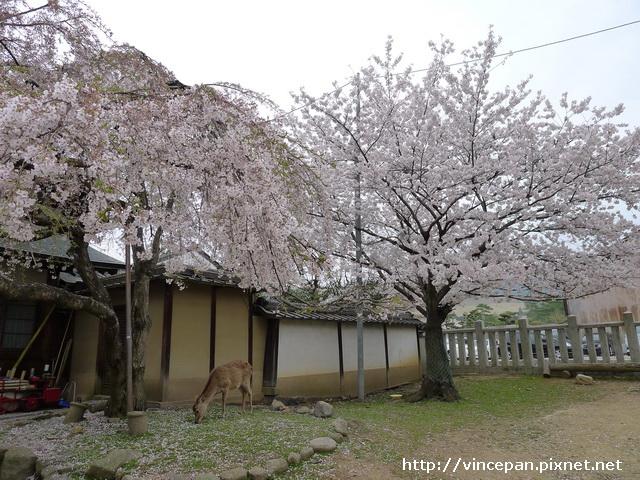 冰室神社 鹿櫻花
