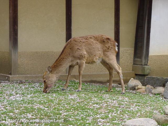 冰室神社  鹿吃草
