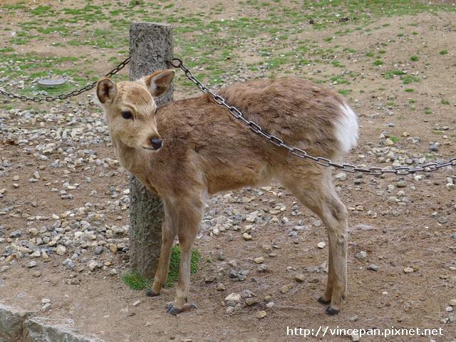 奈良 鹿 班比