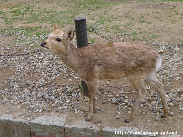 奈良 鹿 班比2