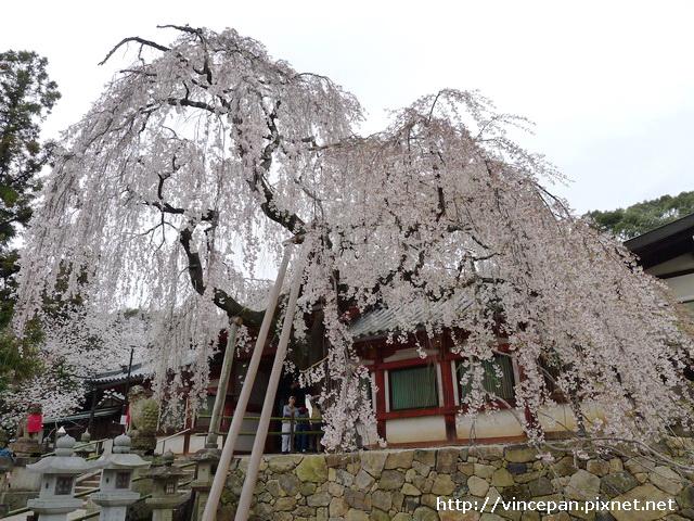 冰室神社 一番櫻2